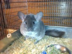 Violet chinchilla