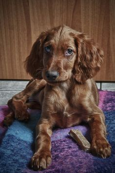 Red Irish #Setter #Puppy #Dogs
