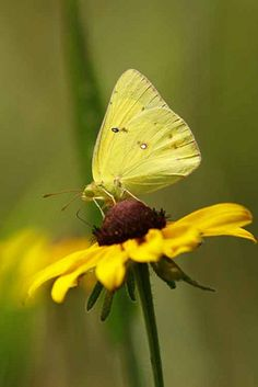 The Common or Clouded Sulphur (Colias philodice) is a North American butterfly in the family Pieridae,
