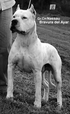 Dog Argentino, Animal Pictures, Pitbulls, Dogs, Cute Dogs, Argentina, Animales, Pit Bulls, Pet Pictures