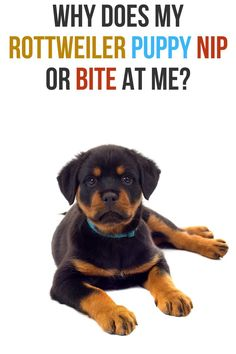 If you are thinking of getting a Rottweiler or you have recently gotten one then you're probably wondering how to keep it entertained. So, how to keep your Rottweiler entertained? To keep your Ro Rottweiler Facts, German Rottweiler, Rottweiler Training, Rottweiler Puppies, Pet Dogs, Dogs And Puppies, Chihuahua Dogs, Doggies, Online Dog Training