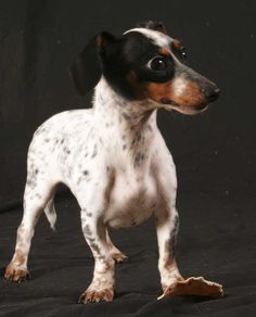 Hailey the Doxie and Rat Terrier Mix