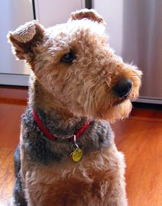 The classic Airedale head tilt. So very true! Terrier Airedale, Irish Terrier, Terrier Dogs, Terriers, Loyal Dogs, Large Dog Breeds, Dogs And Puppies, Doggies, Mans Best Friend
