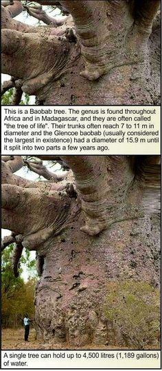 Baobab. UN SINGOLO ALBERO PUò CONTENERE 4500 LITRI D'ACQUA