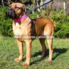 Collar de cuero color rosa y pinchos de acero cromado para actividades perros Cane Corso - S33P