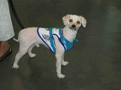 URGENT at WEST VALLEY SHELTER:COOKIE - ID#A1509637,dumped by the owner that lost his house  poodle,3 years old,14 pounds,inside dog,potty trained!sweet, good with people and dogs...sad at the shelter,needs a good home or rescue and has been there since sep 21! please help Cookie!  what a cutie.  My name is Cookie and I am a neutered male, white Poodle - Miniature.  The shelter thinks I am about 3 years old. I weigh approximately 14 pounds.  I have been at the shelter since Sep 21, 2014. ...