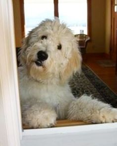 Goldendoodle, Dogs, Animals, Nice, Animales, Animaux, Pet Dogs, Doggies, Animal