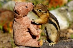 Photographer Betsy Seeton took this picture of golden-mantled ground squirrel having an intimate moment with a teddy bear in Colorado  Picture: Betsy Seeton/Solent News