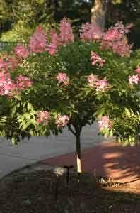 Pink Diamond Hydrangea Tree - Hydrangea paniculata 'Pink Diamond'