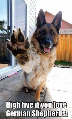 German Shepherd salute.