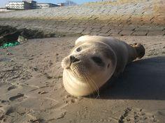 Een slimme eigenwijze zeehondenpup, wachtend op zijn haring die hem iedere dag wordt gebracht in de haven van West Terschelling