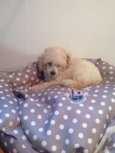 Barboncino toy maschio Tre mesi vaccinato iscritto anagrafe canina