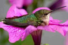 hummingbird resting on a petunia