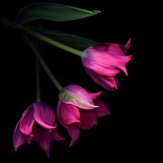 THREE STAR TULIPS... by Magda indigo on 500px