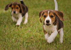 Here come the beagles!