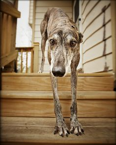 Retired racing greyhound learning to do stairs.