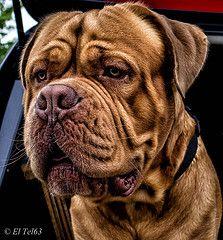 Hector (El Tel63) Tags: dog de bordeaux hector dogue earlswood frenchmastiff