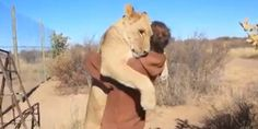 Lion hugger: This is how Sirga the lion greets her owner - BBC News Bbc News, Lion Cub, Pet Lion, Big Hugs, All Gods Creatures, Beautiful Creatures, Lions, Animal Rescue, Cute Animals