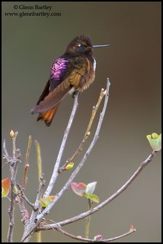The White-Tufted Sunbeam (Aglaeactis castelnaudii) is a species of hummingbird in the Trochilidae family. It is found only in Peru. Its natural habitats are subtropical or tropical moist montane forests and subtropical or tropical high-altitude shrubland.