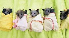 Baby flying foxes!
