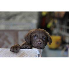 Chessie pup!!