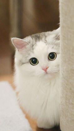 Baby Kittens, Kittens Cutest, Cute Cats, Cats And Kittens, Grey Kitten, Bengal Kitten, Himalayan Cat, Smart Bracelet, Strong Body