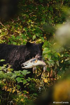 Bear finds a bite to eat. Canadian Wildlife, Black Bear, Bears, This Is Us, Canada, Animals, Beautiful, Animales, American Black Bear