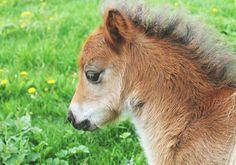 Minishetland foal Alvin af Östansjö