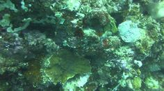 Video White Eyed Moray | Pata Negra Dive Center Bohol Philippines, Diving, Island, Beach, Scuba Diving, The Beach, Islands, Beaches
