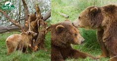A gauche, Sofia et Volga / A droite, Groseille et Graoully- ours bruns d'Europe - Parc de Sainte-Croix