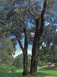 An analysis of the tree eucalyptus