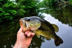 Found in freshwater lakes, ponds, rivers and streams across North America, bass are among the most widely pursued game fish. Bass are known for striking your bait or lure with an aggressive force making bass fishing an exciting sport. Baits used for bass fishing are available in a variety of styles and colors, and the best color is determined by a...