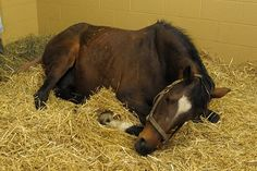 How to Predict When a Mare will Foal - TheHorse.com   Many breeders use a combination of the available options to predict when a mare will foal. #horses #foaling