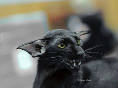 💕 Beautiful Black Cats 💕♥ Black (ebony) oriental shorthair, OSH n. World Winner, females, 2010 (St. Siamese Cats, Cats And Kittens, Ragdoll Kittens, Bengal Cats, White Kittens, Pretty Cats, Beautiful Cats, Oriental Cat Breeds, Oriental Shorthair Cats