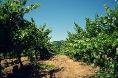Summer day at B.R. Cohn, June 2013 #vineyards #summerinwinecountry