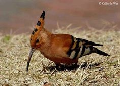 African Hoopoe by Crests, Images, Birds, Animals, Classic, Google, Africa, Derby, Animaux