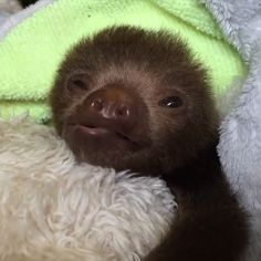 This is the cutest thing you can do when you visit Costa Rica cutest baby animals Baby Sloth Sanctuary Sloth Sanctuary Costa Rica, Costa Rica Sloth, Cute Little Animals, Cute Funny Animals, Adorable Baby Animals, Cute Baby Cow, Funny Monkeys, Cute Baby Monkey, Pet Monkey