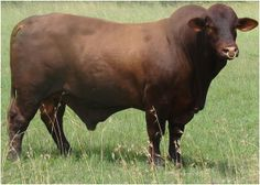 Santa Gertrudis Cattle Breed was developed on The King Ranch