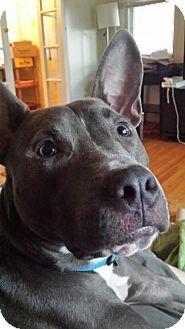 Doylestown, PA - Terrier (Unknown Type, Medium) Mix. Meet Blue, a dog for adoption. http://www.adoptapet.com/pet/13233896-doylestown-pennsylvania-terrier-unknown-type-medium-mix