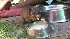 This Rock Hyrax loves her milk. Dog Bowls, Milk, Education, Onderwijs, Learning