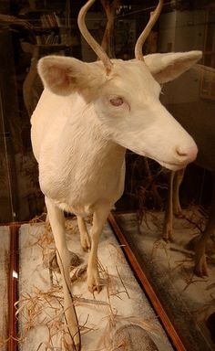 I would never want to harm one but i would gladly give one a good home. ..  Albino dear taxidermy