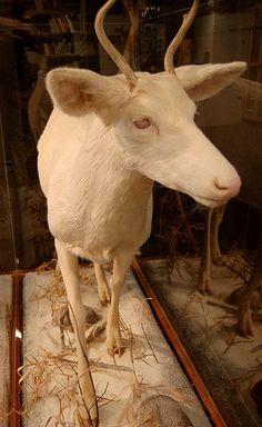 Albino dear taxidermy