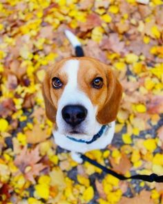 Find Out More On The Happy Beagle Dogs #beagles #lovebeagles #beaglesmemes Art Beagle, Beagle Puppy, Pet Dogs, Dogs And Puppies, Dog Cat, Doggies, Black Beagle, Beagle Colors, Savage
