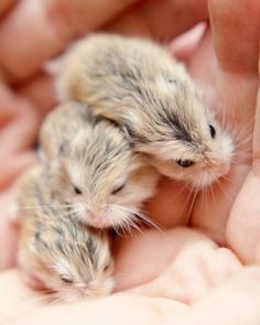 A handful of hamsters. I do love them.