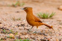 Foto casaca-de-couro-de-crista-cinza (Pseudoseisura unirufa) por Oscar Abener Fenalti   Wiki Aves - A Enciclopédia das Aves do Brasil