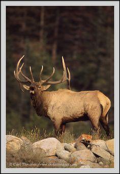 A bull elk bugling photo in Jasper National Park Elk Images, Elk Pictures, Moose Deer, Big Deer, Wildlife Paintings, Wildlife Art, Bow Hunting Elk, Wildlife Photography, Animal Photography