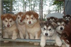one of my future dogs. Giant Alaskan Malamute, Alaskan Malamute Puppies, Malamute Husky, Adorable Dogs, Adorable Animals, Animals Beautiful, Cute Puppies, Dogs And Puppies, Golden Cocker Spaniel Puppies