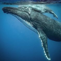 A beautiful moment when a sleeping mamma gently brings her baby to the surface ! 💙 Look close and you can see that her eye is still closed. Beautiful Ocean, Animals Beautiful, Save Our Oceans, Whale Art, Wale, Delphine, Ocean Creatures, Tier Fotos, Whales