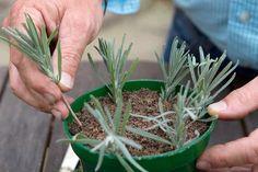 Pushing each cutting into compost Garden Web, Diy Garden, Edible Garden, Garden Tools, Balcony Garden, Garden Ideas, Container Herb Garden, Container Gardening Vegetables, Growing Lavender
