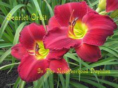 Scarlet Orbit daylily (5) WM  Scarlet Orbit Gates, L., 1984-Daylily Scarlet Orbit;Lee Gates Daylily;Red Self w' Yellow Green Throat Daylily;Award Winning Daylily;Perennials;Affordable Daylilies;Fragrant Daylilies;Early Season Daylily;Reblooming Daylilies;Tetraploid Daylily;Evergreen Daylily